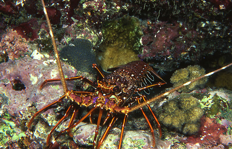 Longlegged Spiny Lobster