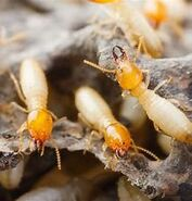 Termite-1