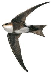 Antillean Palm Swift