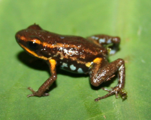 Blue-bellied Poison Frog