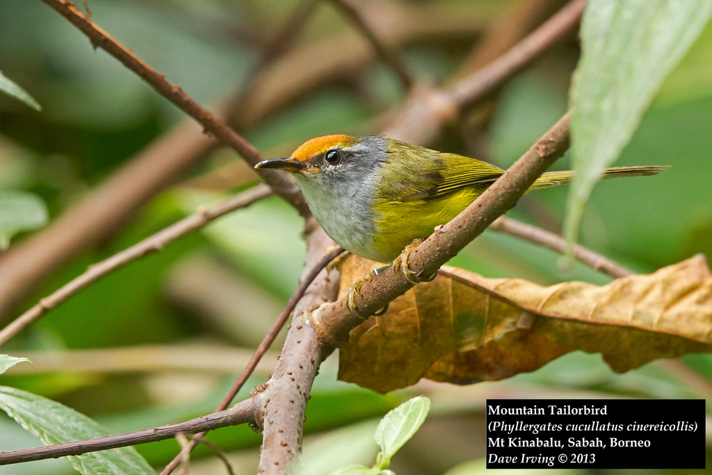 Mountain Tailorbird