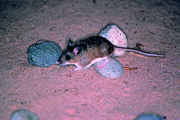 Angel Island Mouse