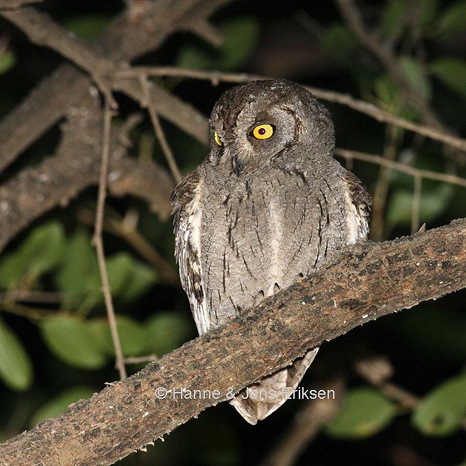 Arabian Scops Owl