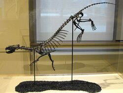 Puijila darwini skeleton.jpg
