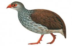 Mount Cameroon Francolin