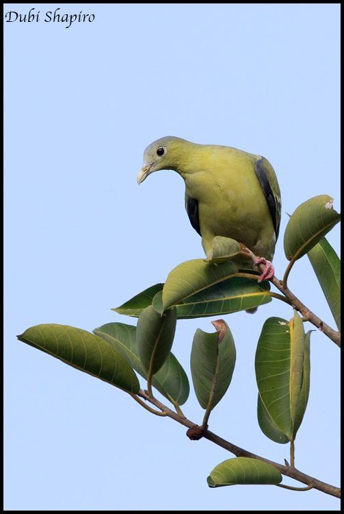Flores Green Pigeon