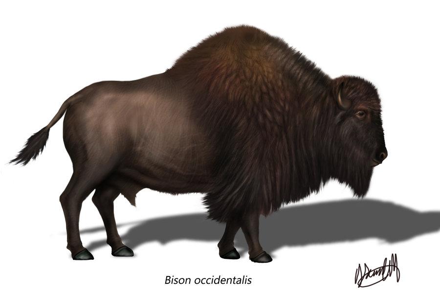 Holocene Bison