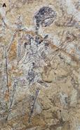 Fossil of Sinomacrops bondei