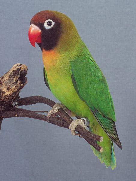 Black-cheeked Lovebird