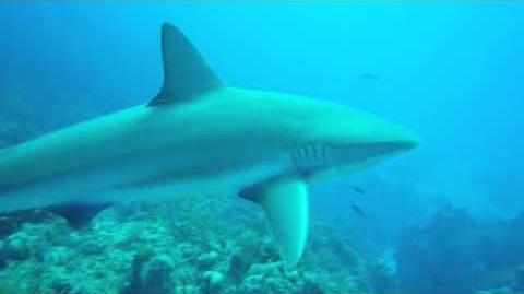 Caribbean_Reef_Sharks