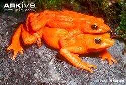 Cloud-forest-stubfoot-toad-pair-in-amplexus.jpg