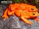 Scarlet Harlequin Toad