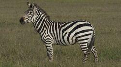 Plains Zebra.jpg