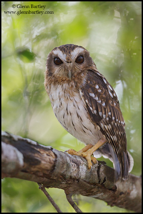 Bare-legged Owl