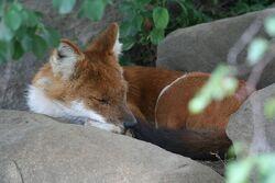 Sleeping Dhole.jpg