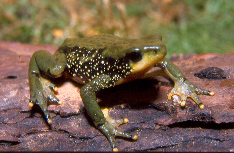 Atelopus peruensis