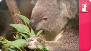 Bindi & Robert Irwin feature - Koala (April) - Growing Up Wild