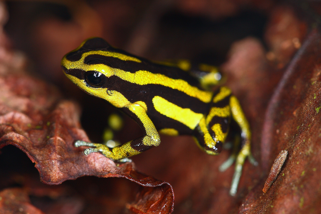 Yellow-bellied Poison Frog