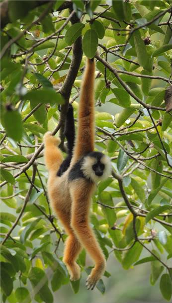 Eastern Black Crested Gibbon