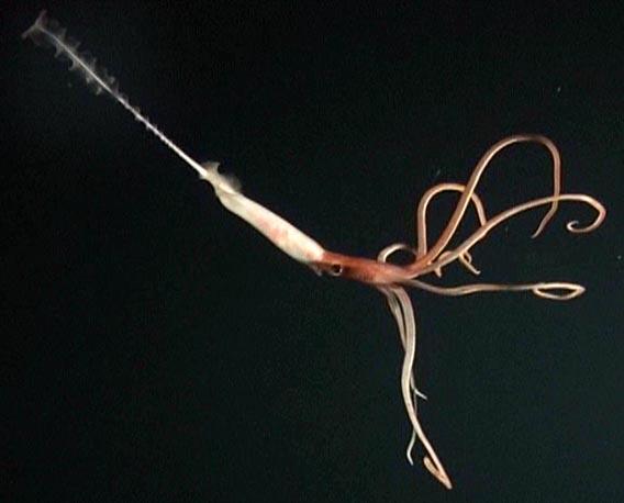 Joubin's Squid