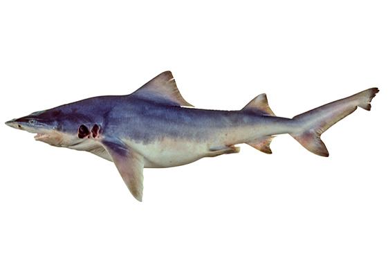 Northern river shark