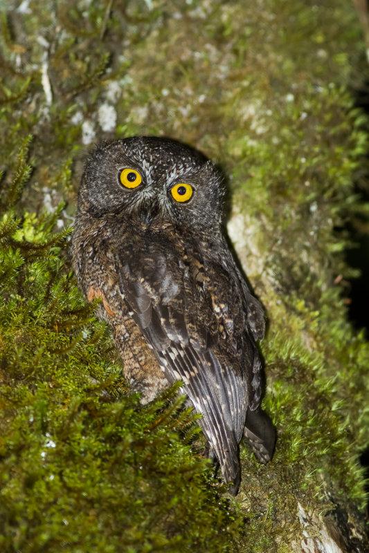 Karthala Scops Owl