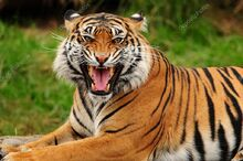 Depositphotos 37289893-stock-photo-roaring-tiger.jpg