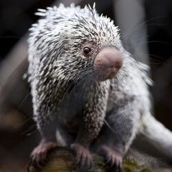 L-i-g-h-t-p-o-e-t-close-up-of-a-cute-brazilian-porcupine-coendou-prehensilis-shallow-dof.jpg