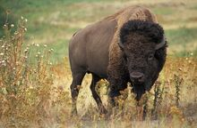 American Bison1.jpg