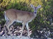 White-tailed Deer2