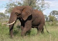 Éléphant d'Afrique1.jpg