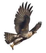 Peregrine falcon book 31 cover morph