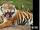 Тигриный борщ! !ацкон од ьтертомС