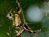 Golden silk orb-weaver (Nephila)