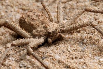 Six Eyes Sand Spider2.jpeg