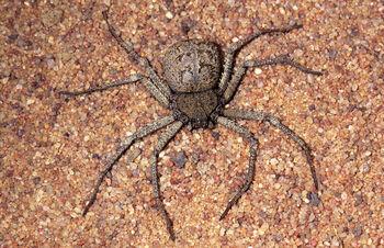 Sicarius-species-----N.-Larsen--NL96.jpg
