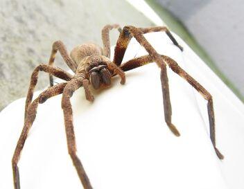 772px-Sparassidae Palystes castaneus mature female 9923s.jpg