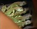 1chameleons22