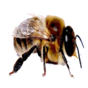 Drone Bee (Primitive Plus).png