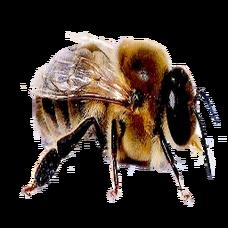 Drone Bee (Primitive Plus).png