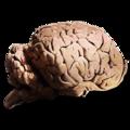 Allosaurus Brain.png
