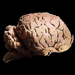 Allosaurus_Brain.png