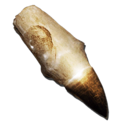 Alpha Mosasaur Tooth.png