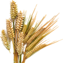 Dried Barley (Primitive Plus).png