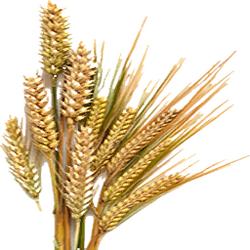 Dried Barley (Primitive Plus)