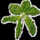Fresh Spinach (Primitive Plus).png