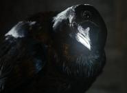Crow Three eyed HBO