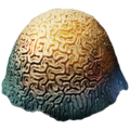 Brain Coral.png