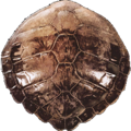 Carapace.png