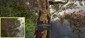 Syrup tree.jpg